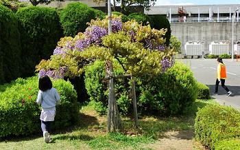 blog42鳥羽の藤.jpg